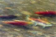 A long exposure captures the motion of four sockeye salmon (Oncorhynchus nerka), showing their red breeding coloration, swimming fast up the Cedar River in Renton, Washington toward their spawning grounds. Sockeye salmon are blue-tinged and silver when they live in the ocean; their bodies turn red and their heads green when they return to freshwater rivers to spawn.