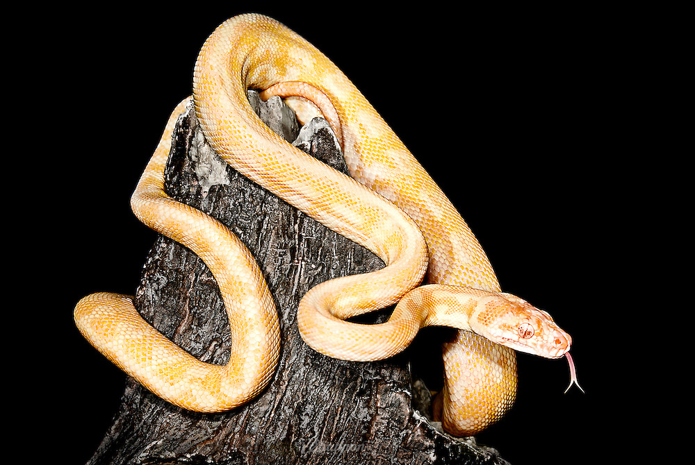Albino Northern Territory Carpet Python (Morelia spilota variegata) or Darwin Carpet Python are native to Australia and New Guinea.   The unusual appearance of this albino snake is caused by genetic faults in the metabolic system that produces melanin.  This individual is an oculocutaneous albino, which means that it contains no melanin in the eyes or skin.