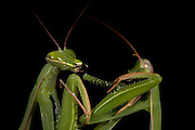 Sexual Cannibalism! Female Paying mantis Devours her partner<br /> <br /> imagine every time you made love to your partner you were dicing with imminent death. It might make<br /> you wary of having sex ever again (if you survived, that is!) yet male praying mantises can never be sure they will survive the sex act owing to their partners<br /> natural predatory instinct. Sexual cannibalism is a natural phenomenon whereby one organism (generally the female) eats the other (typically the Male) before, during or right after sex.<br /> this amazing sequence of photographers shows a female praying mantis eating her lover - starting with this shot of Mrs mantis munching on the Male's leg. Looks like a nice appetizer!<br /> ©Oliver Koemmerling/Exclusivepix Media