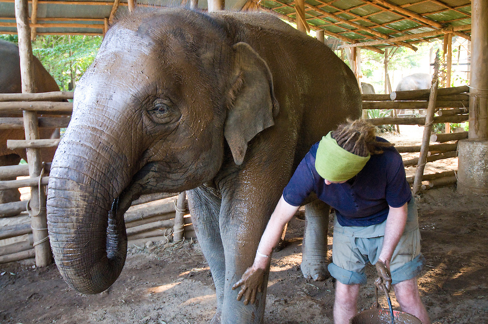 "Volunteer, Kingsley Williams from Australia, given mud bath to an elephant at the Elephant Nature Park near Chiang Mai, Thailand.  Sangduen ""Lek"" Chailert founded the park as a sanctuary and rescue centre for elephants.  The park currently has 32 elephants sponsored and supported by volunteers from all over the world."