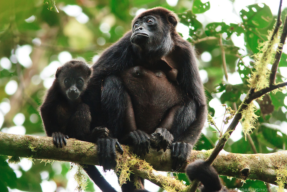 Mantled howler (Alouatta palliata), or golden-mantled howling monkey, in a Choco cloud forest, Bilsa - Ecuador