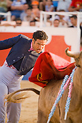 Professional bullfighter Oscar Higares guides his second bull of the day as it charges past his body at full speed at the annual village festival of San Juan in Campos del Rio, near Murcia in southern Spain.  (Oscar Higares is featured in the book What I Eat: Around the World in 80 Diets.) After a dozen more passes, he kills the bull on his first attempt, eliciting a standing ovation from the crowd, which awards him the bull's ears and tail. Oscar and the bull spend just under 15 minutes together in the ring (an anxious period in which Oscar must control not only the objective dangers, but also his fear).   Each bullfight ends with the killing of the bull by the matador (bullfighter).  MODEL RELEASED.