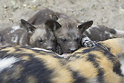 African Wild Dog<br /> Lycaon pictus<br /> 5 week old pups suckling<br /> Northern Botswana, Africa<br /> *Endangered Species