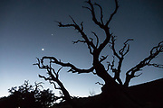 A silhouetted bare tree embraces the crescent moon on Sunset Hill on Mauna Kea, on the Big Island, Hawaii, USA. For colorful sunset views of the Saddle Road region, walk 1 mile round trip (160 ft gain) to the cinder cone of Pu'u Kalepeamoa, or Sunset Hill, from the Onizuka Center for International Astronomy Mauna Kea Visitor Information Station at 9200 ft elevation. About a million years old and last erupted 6000 to 4000 years ago, Mauna Kea is a dormant volcano on the Big Island of Hawaii, USA. Mauna Kea stands 13,800 feet above sea level and is the highest point in the state of Hawaii. Measured from its base on the ocean floor, it rises over 33,000 ft, significantly greater than the elevation of Mount Everest above sea level. Paving ends at the Visitor Info Station, and four-wheel drive is recommended to reach the top, where Mauna Kea summit's dry, clear, stable air makes one of the world's best sites for astronomy. Since the road created access in 1964, 13 telescopes funded by 11 countries have been built at the summit. In a tour de force of early science, expert seafaring and astronomy skills allowed far-flung Polynesians to discover and settle Hawaii around 300-600 AD. Ironically, from 2013-2016, plans for a wondrous Thirty Meter Telescope (TMT) atop Mauna Kea attracted protests by Native Hawaiian groups who cited cultural/religious/political grievances, and the project was sadly postponed. The TMT could potentially look across space and time to the first stars that ever shone in the universe, over 13 billion years ago (and would energize the local economy).