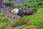 Bald Eagle -  Haliaetus leucophalus eating a Fish