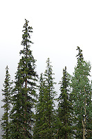 Spruce trees along the Ice Lake Trail near Silverton, Colorado
