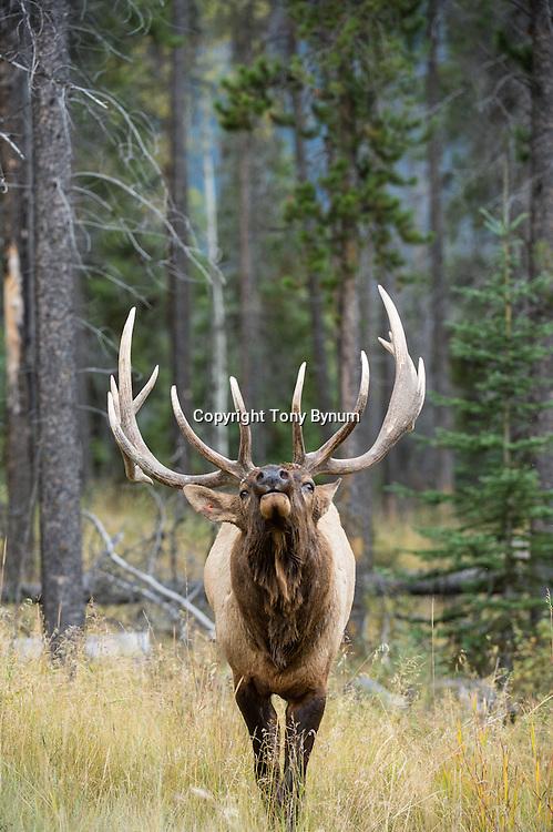 close up of rutting bull elk