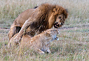Lions mating in Maasai Mara, Kenya.