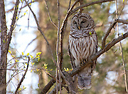 A stately Barred Owl watches over the trail at Radnor Lake State Recreation Area in Nashville, TN.