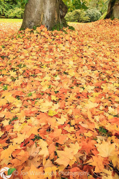 Late autumn and a bed of fallen maple leaves lies beneath a line of trees.