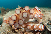 A Common Octopus, Octopus vulgaris, lives along the bottom of the Lake Worth Lagoon in Singer Island, Florida, United States. The tentacles and the suction disks of the octopus' arms are highly sensitive and help the mollusk taste its surroundings.