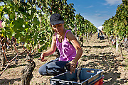 Vendangeurs pick Merlot grapes at vendange harvest in famous Chateau Petrus vineyard at Pomerol in Bordeaux, France