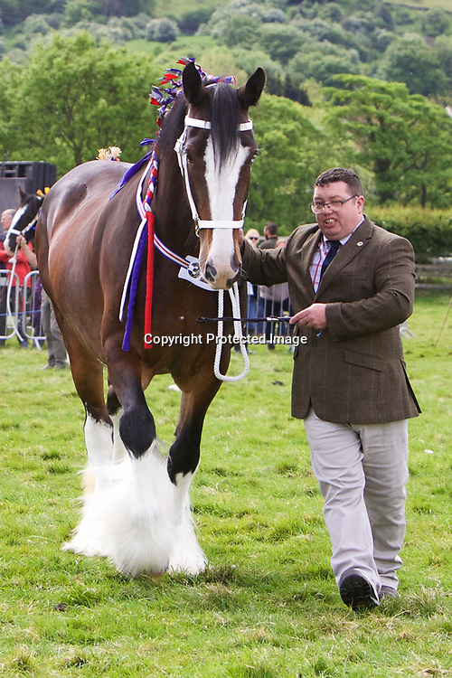 I Parkin's COTTAGE FARM POPSICLE<br /> Sire  Moorfield George<br /> Four year old and upwards Gelding or Mare Class