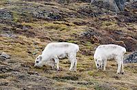 Svalbard reindeer, Rangifer tarandus platyrhynchus grazing on the tundra in Longyearbyen on Spitsbergen in the Svalbard archipelago, Norway.