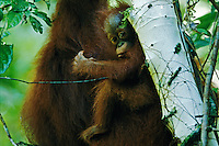 Female Bornean Orangutan (Pongo pygmaeus) named Marissa with two year old baby..Alfred Russel Wallace made the most in depth early field study of orangutans.