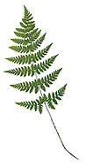 Narrow Buckler Fern - Dryopteris carthusiana