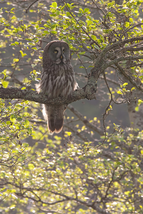 Great grey owl (Strix nebulosa) backlit in alder tree, Bergslagen, Sweden.