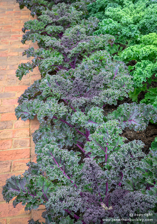 Kale Redbor. Brassica oleracea (Acephala Group) 'Redbor'