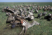Ruppell's Griffon Vulture &amp; White-backed Vulture<br /> Gyps rueppelli (Ruppell's) and Gyps africanus<br /> On zebra kill<br /> Ngorongoro Conservation Area, Tanzania