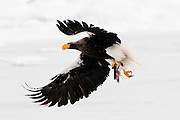 JAPAN, Eastern Hokkaido.Steller's sea eagle (Haliaeetus pelagicus) snatching fish