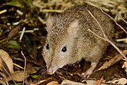Long-nosed Potoroo (Potorous tridactylus) is a nocturnal marsupial endemic to Australia.