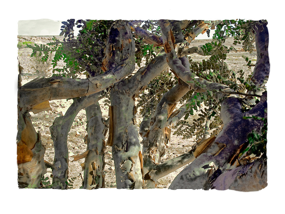 Curled and twisted branches of a frankincense tree, its leaves and trunks shadowed on the desert sand below