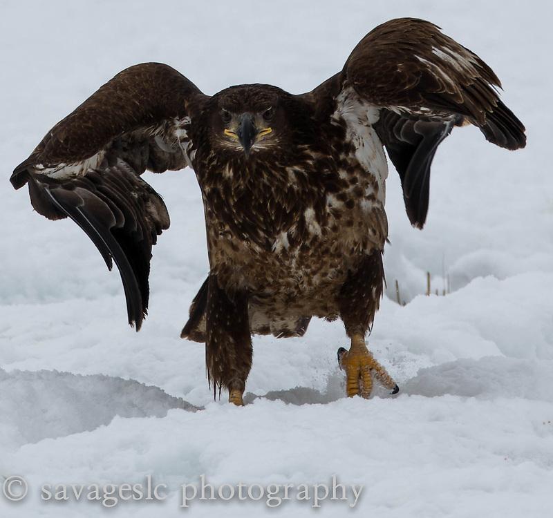 A young bald eagle strutting its stuff. The Great Salt Lake February 2013