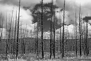 The lodgepole pine (Pinus contorta) is the major component of the Yellowstone landscape. Their cones will only open with heat so localised burning is necessary for the regeneration of the habitat.