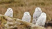 Canada, British Columbia, Boundary Bay, group of four Snowy Owls (Nyctea scandiaca)