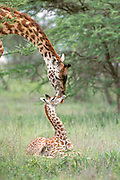 Giraffe<br /> Giraffa camelopardalis<br /> Mother reaches down to nuzzle newborn calf, approx 2 days old. Calf will spend its first few days mostly sitting near its mother.<br /> Ngorongoro Conservation Area, Tanzania