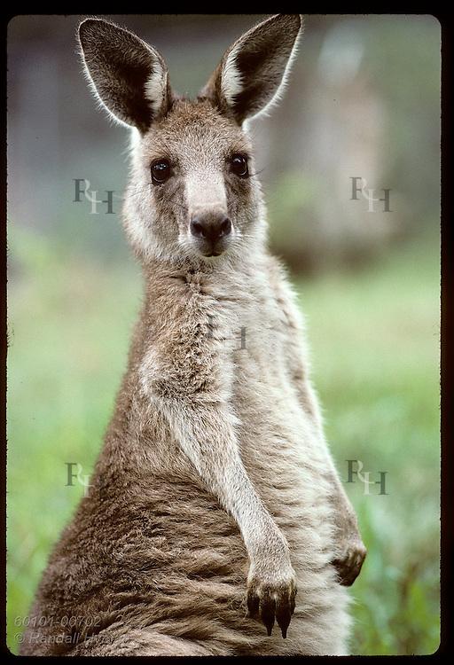 Smallest and furriest of the kangaroos, this wallaroo, or euro, peers @ camera in zoo; Wagga,NSW Australia