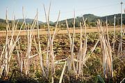 Stems of Newberg Onions