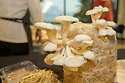 MUSHROOM<br /> Curators: Noah Brown & Elijah Crow, Opala Foods Chef: Robert Paik<br /> Showcased are two oyster mushroom varietals: Pohu and Summer White.<br /> Pohu is fun because it has nice brown caps and big clusters but actually typically stays soft through most of the stem so there is very little waste. It tastes a bit nutty, similar to an almond.<br /> Summer White does very well in warmer temperatures including Opala's warehouse in Kaneohe. It fruits easily even when temps creep into the 80s. The flavor is mild and a little bit acidic, with a delicate texture and bright fragrance.