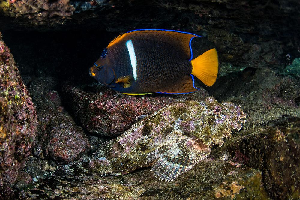 Stone Scorpionfish (Scorpaena plumieri mystes) & King angelfish (Holacanthus passer)<br /> Tower Island<br /> Galapagos<br /> Pacific Ocean<br /> Ecuador, South America