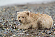 Alaskan brown bear Alaskan brown bear cub in Lake Clark National Park