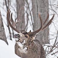 trophy muledeer buck flehming