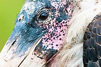 Detailed portrait of a Marabou Stork, Lake Nakuru National Park, Kenya