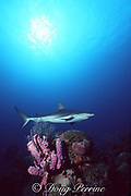 Caribbean reef shark, Carcharhinus perezi, swims over purple tube sponges on New Providence wall, Tongue of the Ocean, near Nassau, Bahamas ( Western Atlantic Ocean )