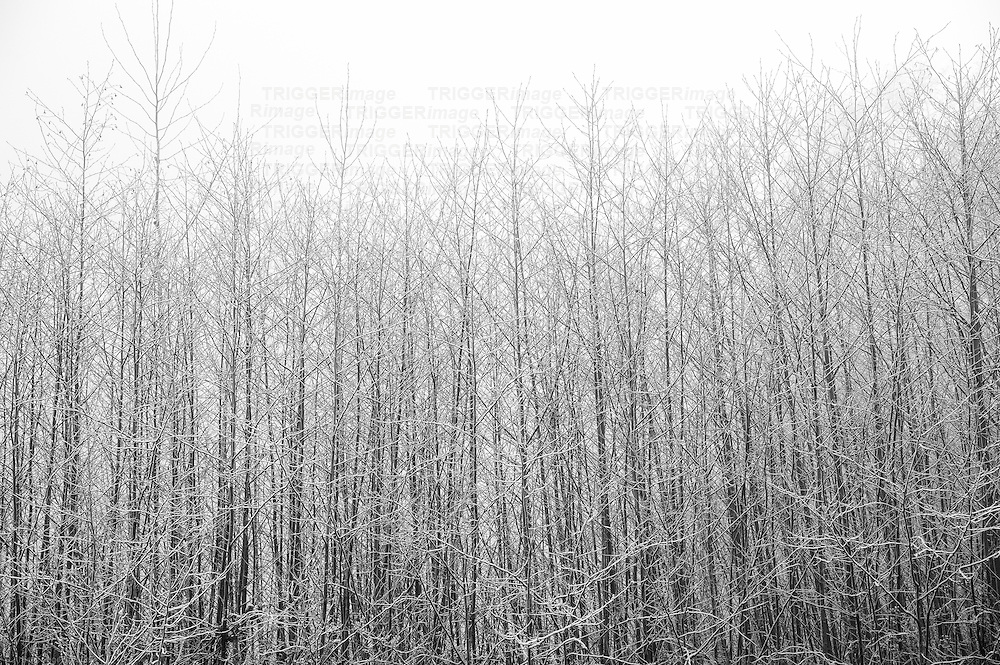 A wall of skinny trees with bare branches covered in a thin layer of snow on a foggy day.