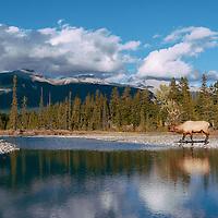 bull elk near stream with reflection