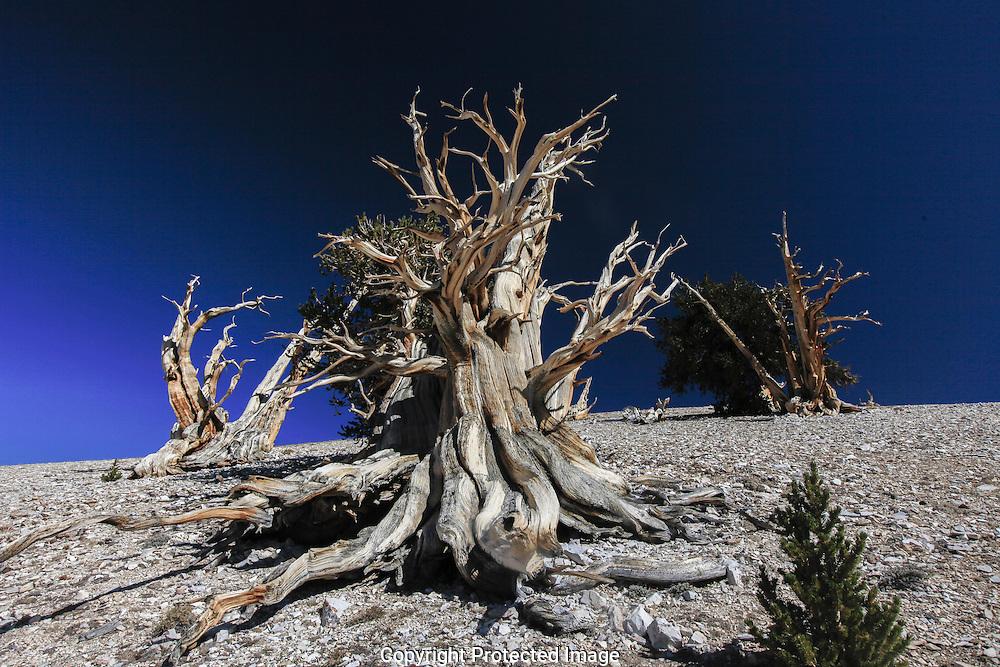Retake of original BW taken 1978. Bristle cone pine in the White Mountains of California