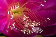 Queen of the Night Cactus (Epiphylllum Ozypetalum) - Tasmania ..Backlit stamens and pedals of a large pink cactus flower, Epiphylllum Ozypetalum known as the queen of the night. Also known as the orchid cactus.