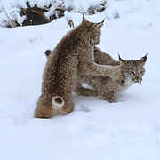 Canada Lynx, (Lynx canadensis) Montana. Sub adults playing in snow. Winter.Captive Animal.