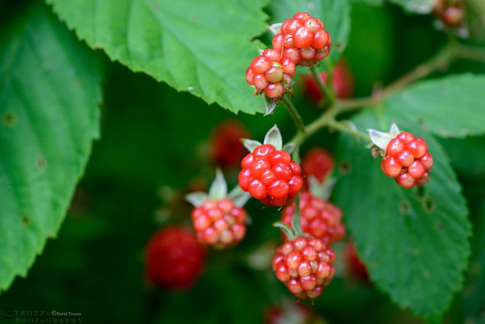 Wild edible raspberries.