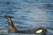 Orca or Killerwhale (Orcinus orca) feeding on herring in the Tysfjord area (Norway). Male Orcas grow up to 7 m, while females are aout 5 m in length.