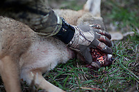 COYOTE HUNTER EXAMINING A HARVESTED COYOTE'S TEETH