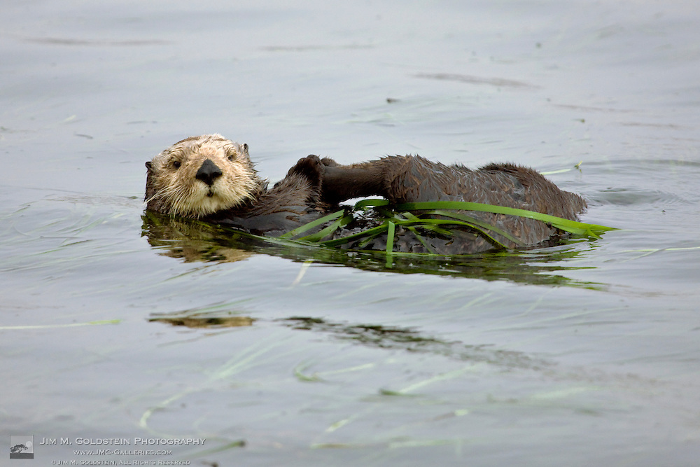 A California Sea Otter (Enhydra lutris) anchored in Eelgrass (Zostera marina) holds it's rear paw - Elkhorn Slough, California