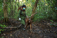 A keeper at IAR carries a juvenile orangutan on her back and walks with another from their cage to a patch of forest where they will learn skills for the wild <br /> <br /> International Animal Rescue (IAR)<br /> Ketapang <br /> West Kalimantan Province<br /> Island of Borneo<br /> Indonesia