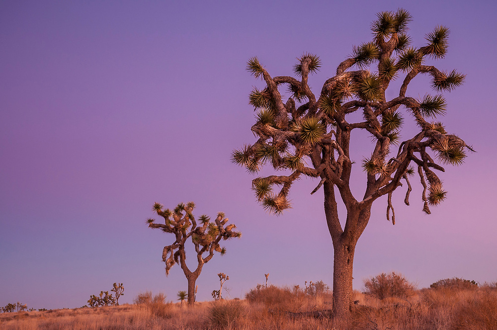 Joshua trees at dusk; Joshua Tree National Park, California.