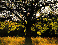 White Oak tree, Quercus alba, at sunset, Cades Cove, Great Smoky Mountains National Park,.Tennessee